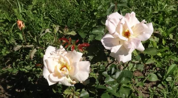 Griffith Buck Folksinger rose