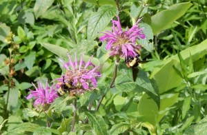 Bee balm and bees