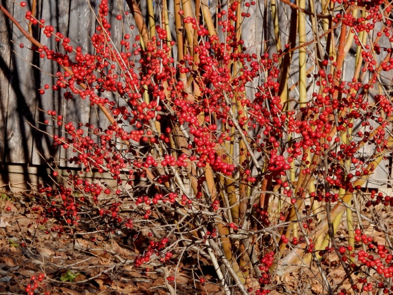 Red winterberries