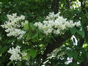 Lilac tree blossoms