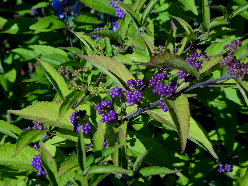 Beauty bush - callicarpa