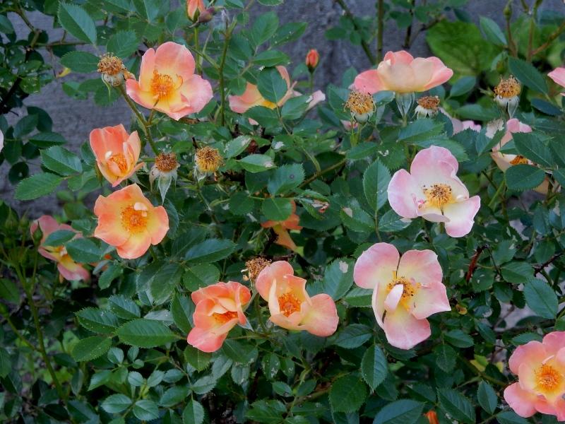 Paprika landscape rose