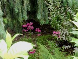 Japanese primroses