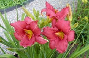 rich color daylily