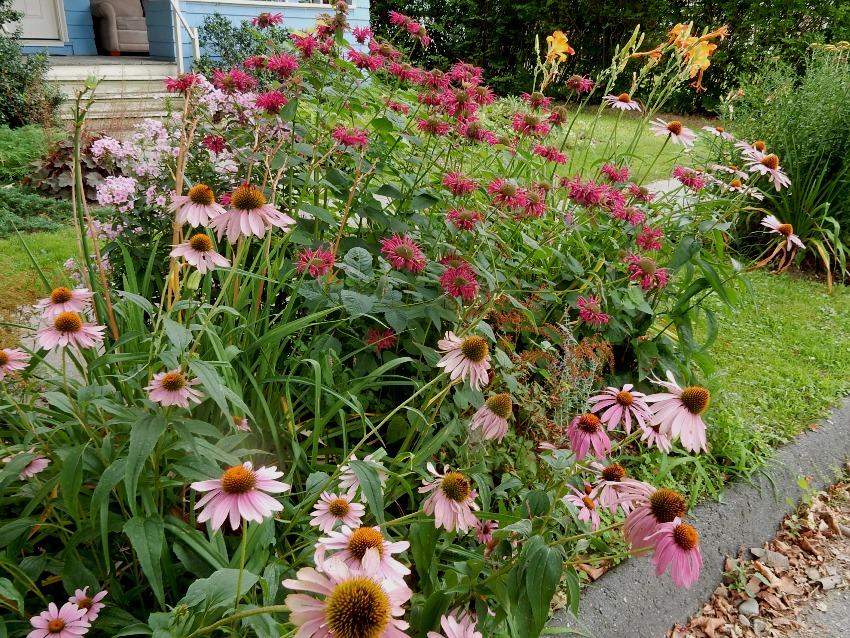 Echinacea bee balm and daylilies