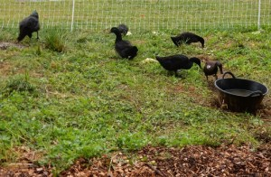 Ducks at the John Zon Community Garden