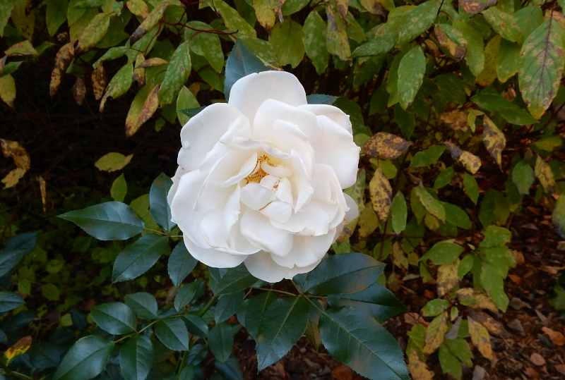 Kordes Polar Express rose