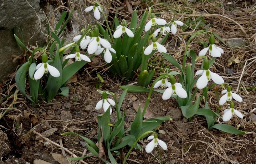 Snowdrops in mid-April