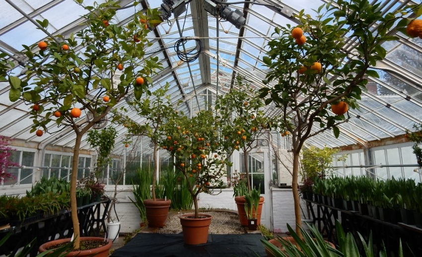 Orange trees - Lyman house