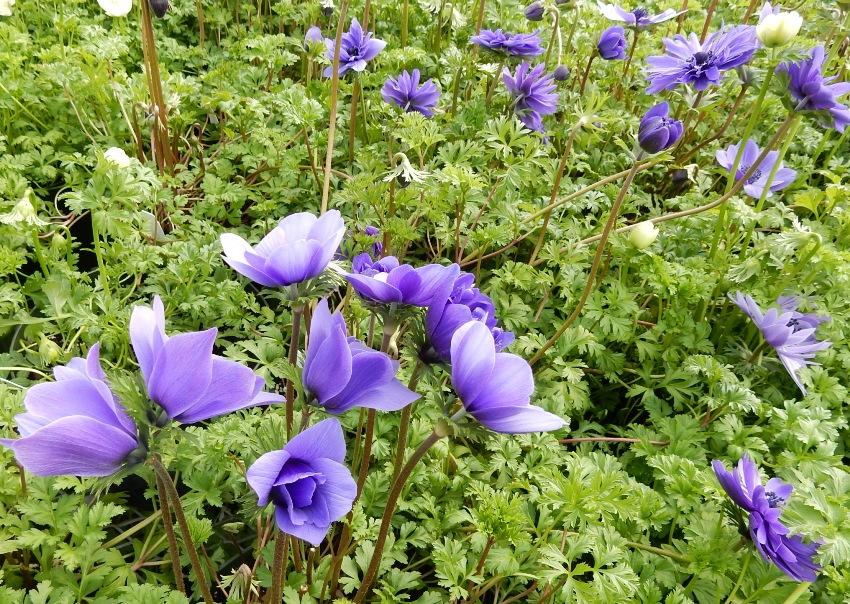 Blue aanemones