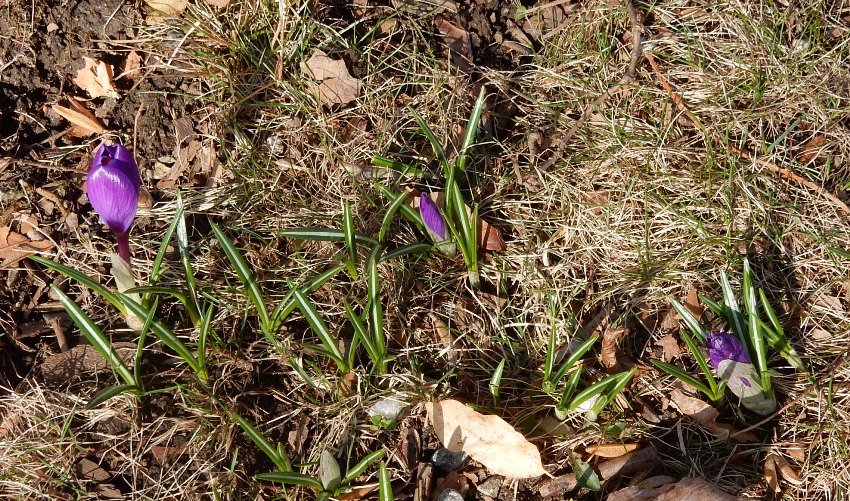 Purple crocus tommies