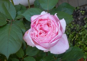 Brother Cadfael rose