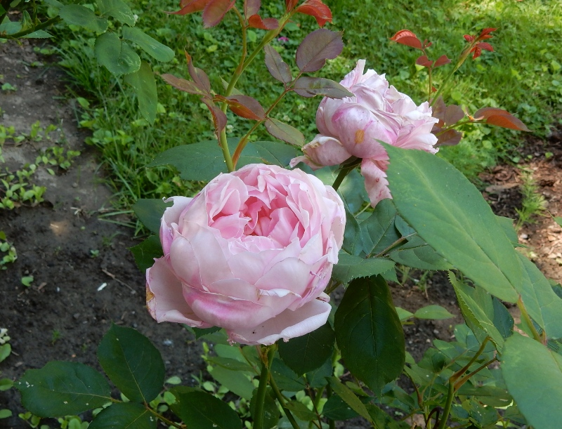 Brother Cadfael rose
