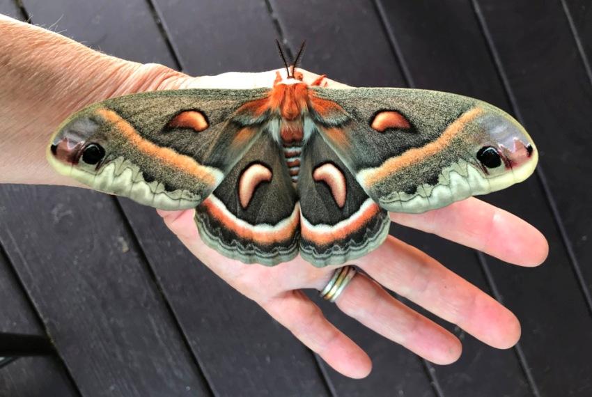 female Cecropia moth