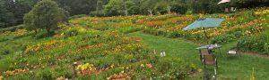 Olallie daylily farm