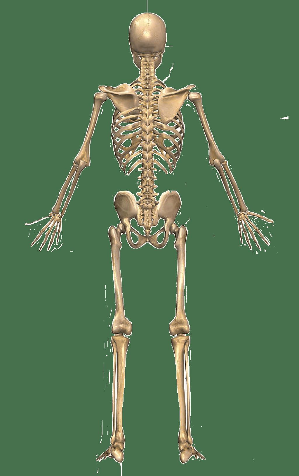 bones human skeleton diagram back franklin electric submersible motor wiring ཚནརག  page 2 བདཀསཚགསའཕདབསནདབ
