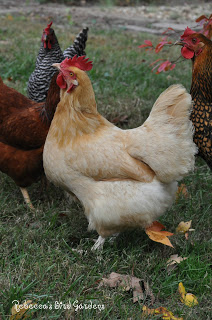 Chicken Breeds  The Buff Orpington  Community Chickens
