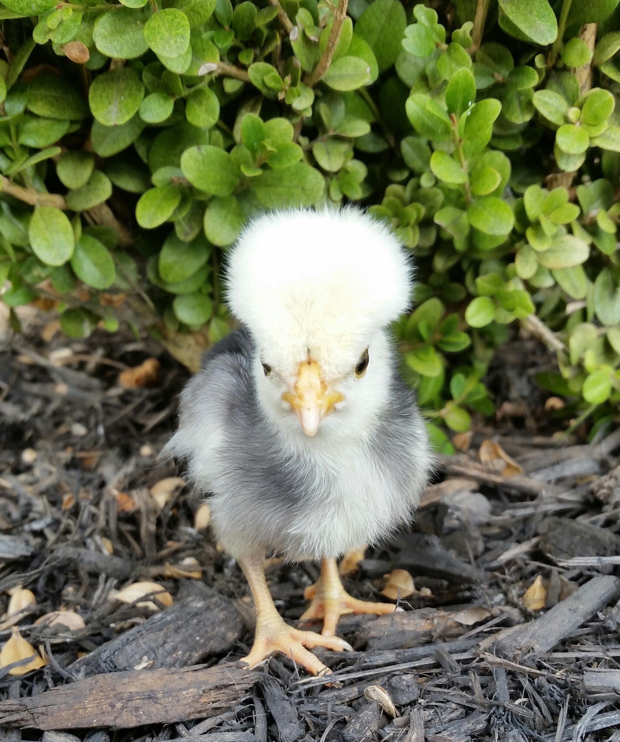 raising baby chicks community