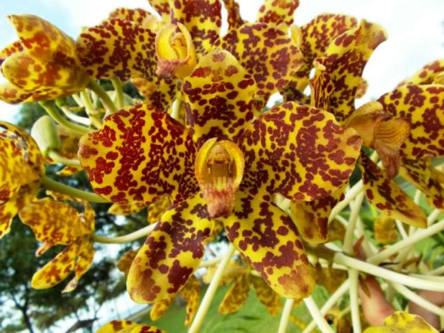 Grammatophyllum speciosum Tiger Orchid2