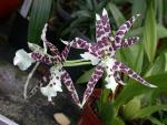 Dicas para o cultivo de orquídeas Oncidium