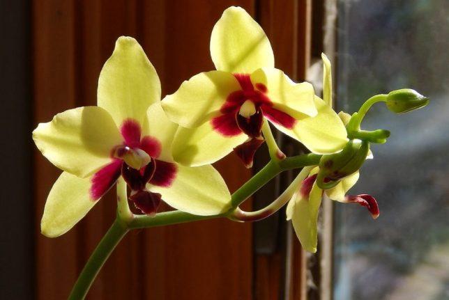 Quando podar plantas de orquídeasPhalaenopsis