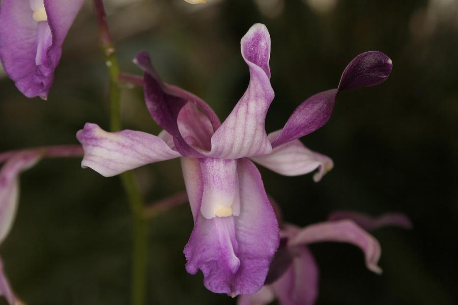 Top 10 orquídeas mais raras do mundo