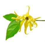 """Résultat de recherche d'images pour """"ylang ylang"""""""