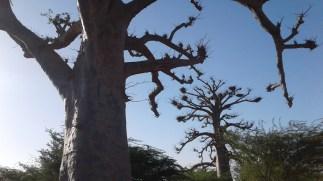 baobab nature lumière