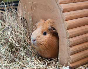 happy guinea pig home