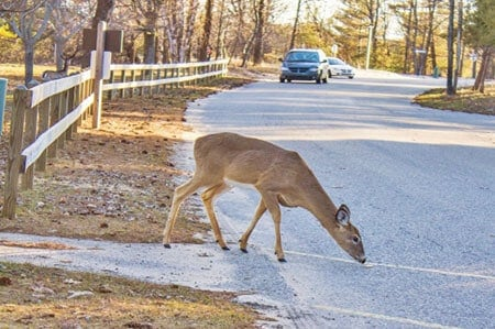 deer car accident what