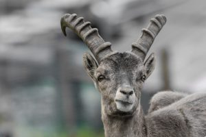 Ibex ram image for Aries