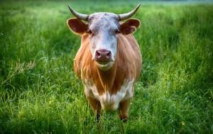 Taurus bull image