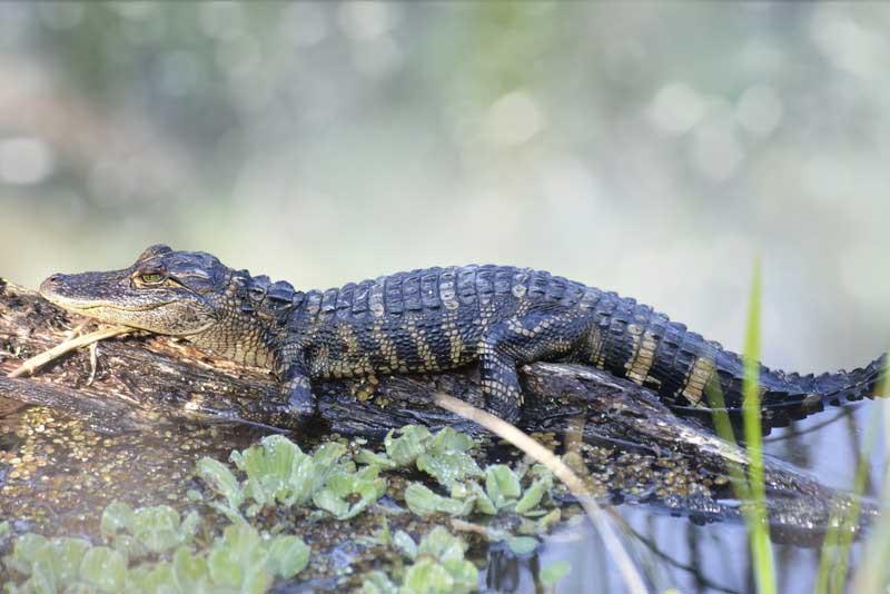Baby alligator for capricorn compatibility