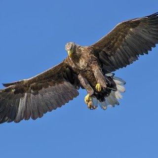 eagle-1753002__340