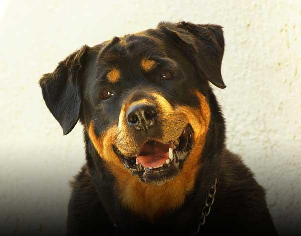 Un rottweiler chien de catégorie 2