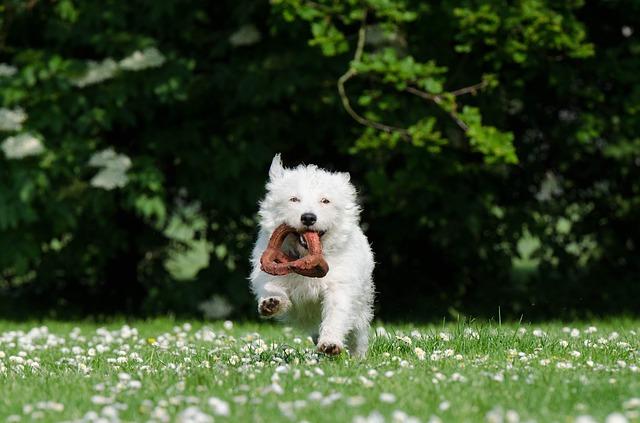 petit chien dressage