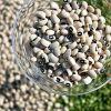 El compost mejora la fijación biológica de nitrógeno en caupí