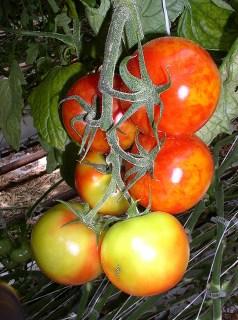 Desarrollo de un tomate que tiene resistencia al virus del mosaico del pepino, el cual causa una enfermedad devastadora en la producción de tomates de invernadero.