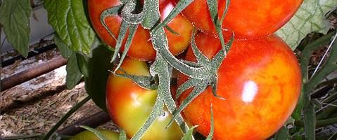 Microorganismos del suelo como vacunas para las plantas