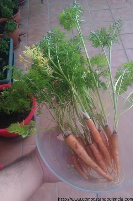 Mis primeras Zanahorias