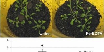 Microorganismos extraídos de un compost mejoran el crecimiento de Arabidosis Thaliana