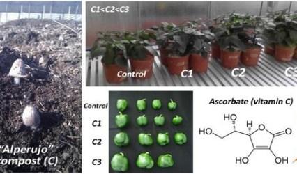 El compost de alperujo incrementa la producción de pimiento y su contenido en vitamina C