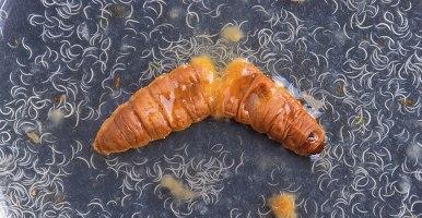 El compost mejora la supervivencia de los nematodos entomopatógenos como agentes de biocontrol de insectos