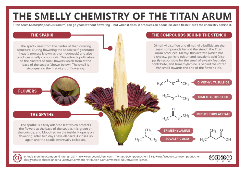 medium resolution of the smelly chemistry of the titan arum corpse flower
