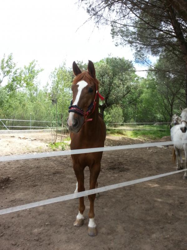 Comprar caballo rumboso del duero Silla Francs