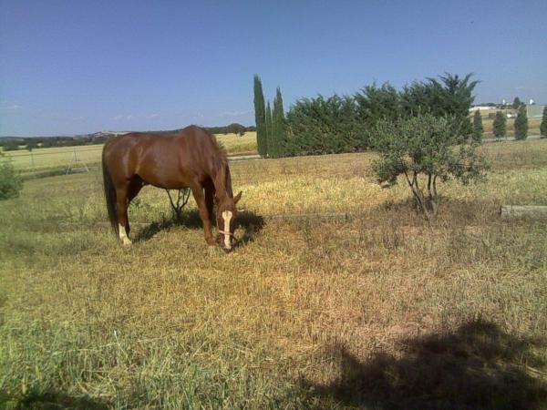 Comprar caballo Romero Silla Francs Salto