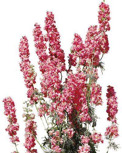 Semi di fiori da reciso di Speronella - Delphinium Consolida