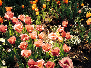 Tulips in bloom close-up