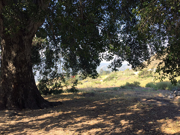 Very large oak tree giving a large patch of shade