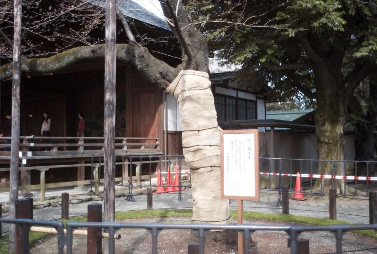 靖国神社の3月13日の桜の様子